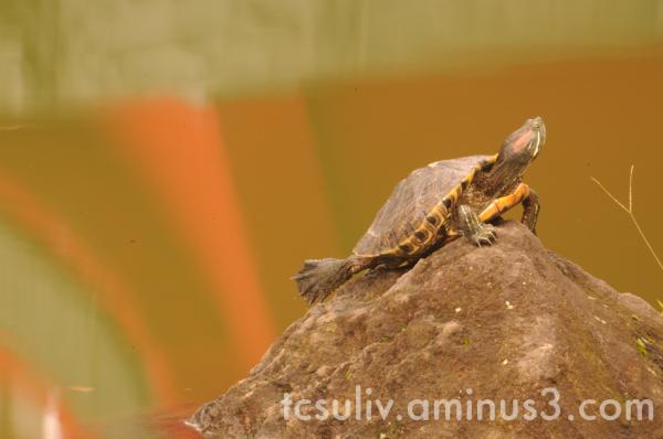 temple turtle kameido 亀戸 寺 亀 亀戸天神 거북이 일본