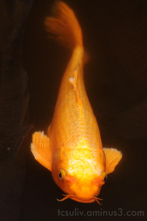 koi fish carp 鯉 魚 goldfish 金魚 meiji-jingu 明治神宮 pon