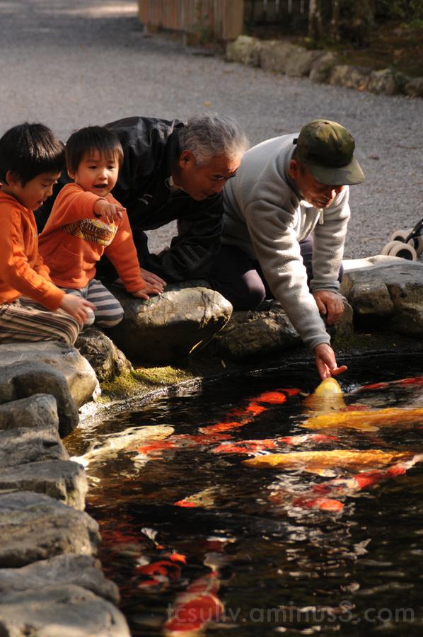 koi fish carp ise 鯉 魚 こい 伊勢 伊勢神宮