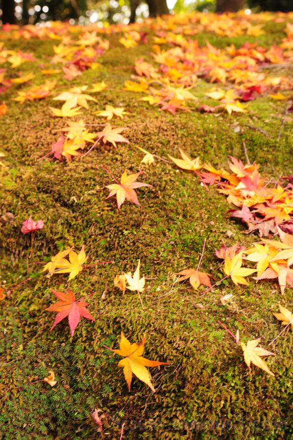 leaf autumn kyoto momiji 巨頭 紅葉 葉 秋 moss 苔