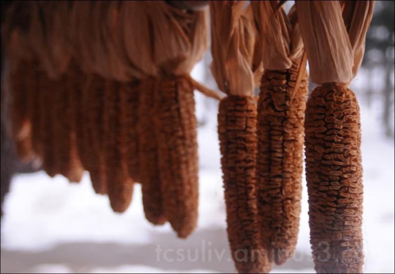 corn drying at shirakawago gifu 白川郷 岐阜 玉蜀黍 コーン