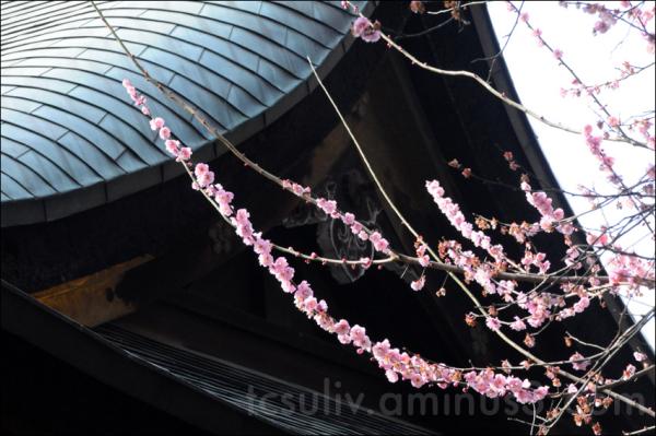 sakura blossom at ueno temple Prunus campanulata