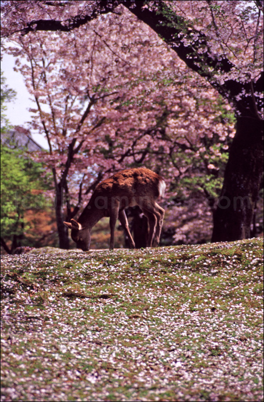 a nara sika deer, surrounded by cherry blossoms