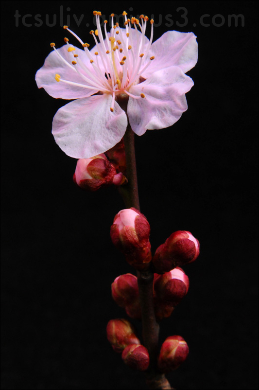 macro closeup on sakura blossom اليابان زهر الكرز