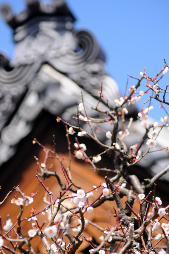shinagawa sakura