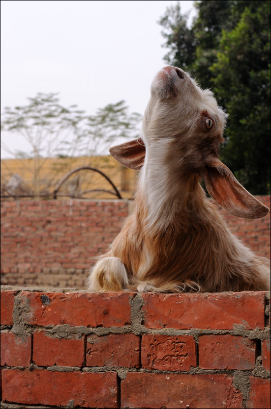 a cairo billy goat rearing up his head