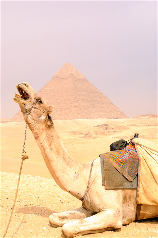 camel in front of pyramid