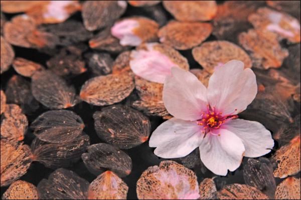 sakura petals atop a pond in Chidorigafuchi