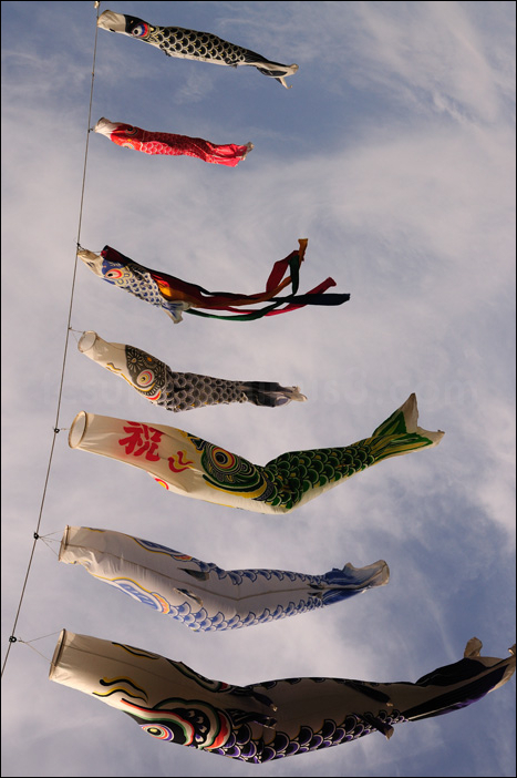 japanese koi kites, fish windsocks