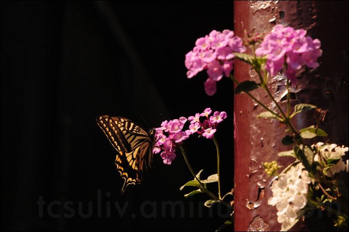 Butterfly (Kameido)