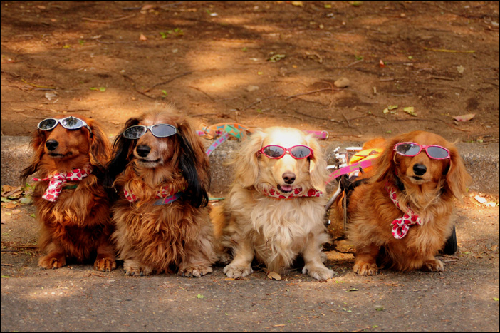 puppy dogs wearing sunglasses at tokyo yoyogi park