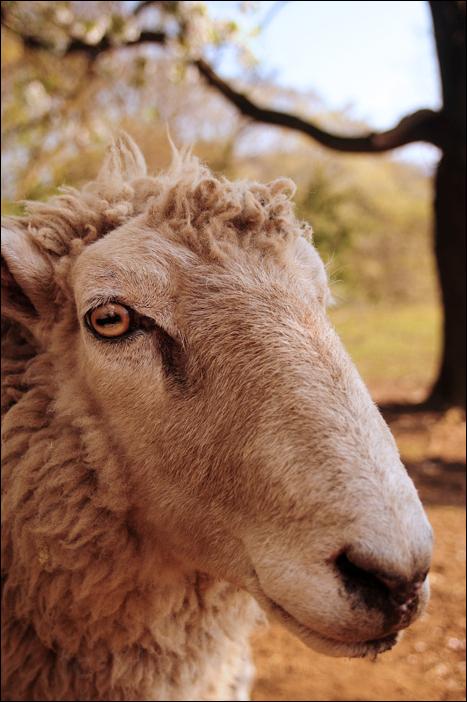 sheepface 羊の顔 (Chiba)