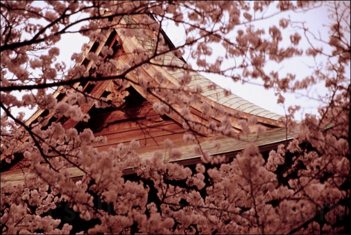 shomyoji sakura 称名寺桜 (kanazawabunko)