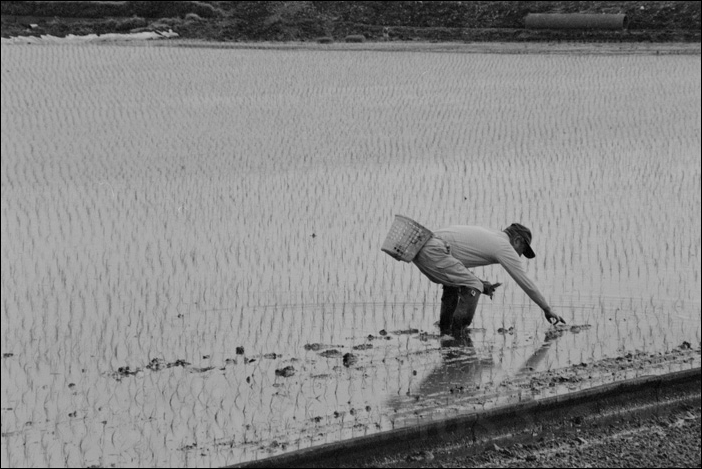 japan rice paddy patty