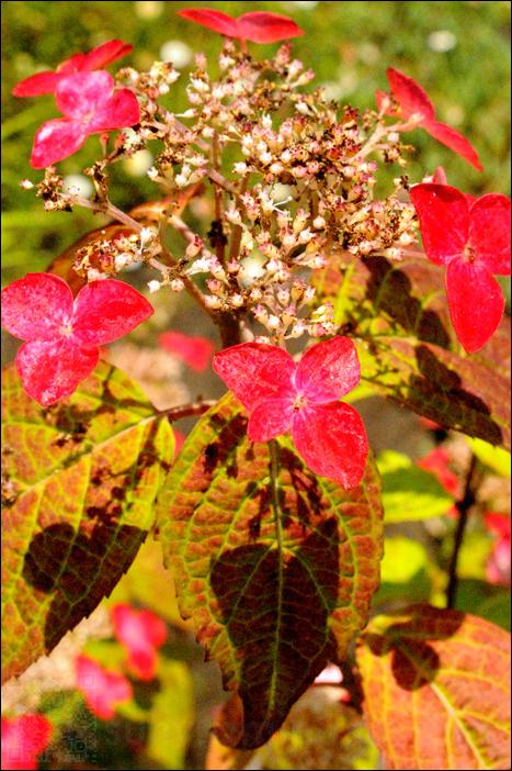 red hydrangea (kamakura)
