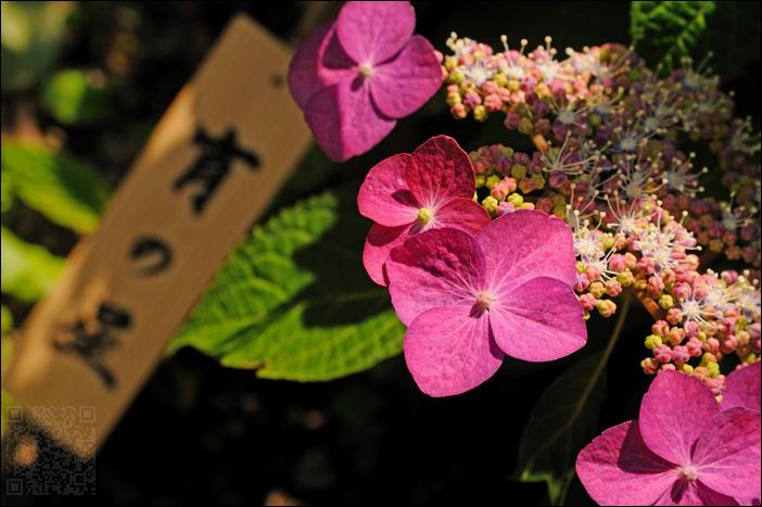 purple hydrangea 紫あじさい (kamakura)
