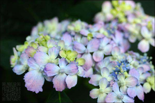 hydrangea bunch (kamakura)