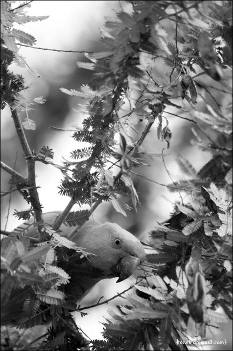 parakeet (harajuku)