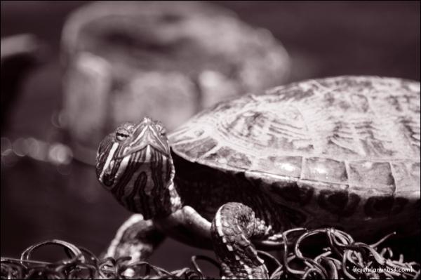 亀 turtle b-w モノクロ