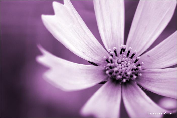 purplish cosmos (takaosan)