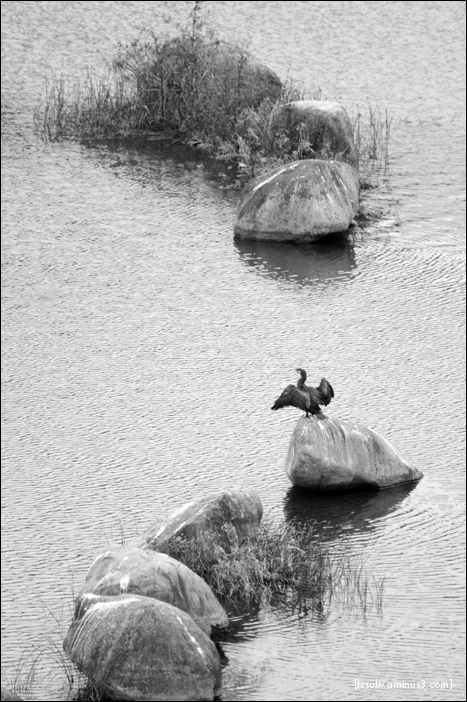 cormorant 鵜 (miyagase)