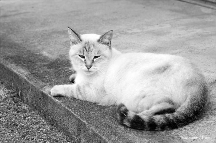 soft Siamese シャム猫 (gifu, japan)