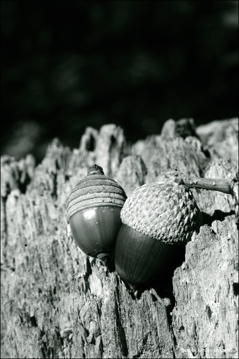 acorn pair with wood (gifu, japan)
