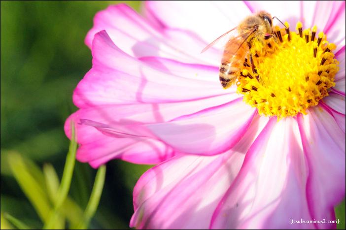 bee flower はちの花 (gifu, japan)