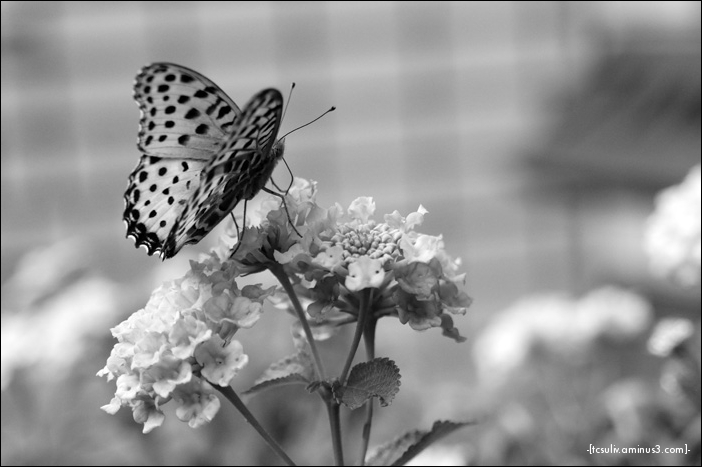 Monochrome butterfly モノクロ蝶々 (Ueno)