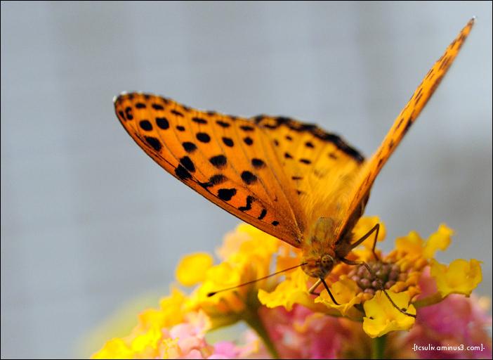 Orange butterfly オレンジ色の蝶々 (Ueno)