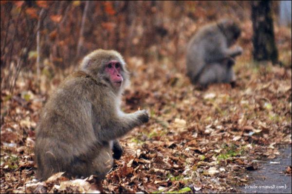nikko monkey 日光の猿