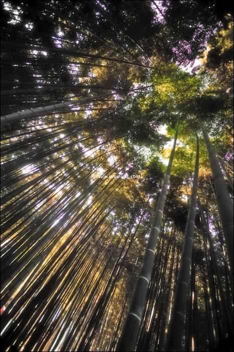 skyward shot of bamboo forest, taken in Kamakura