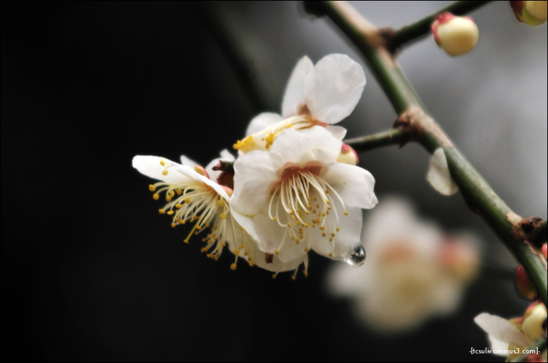 sakura drops 桜ぽとぽと