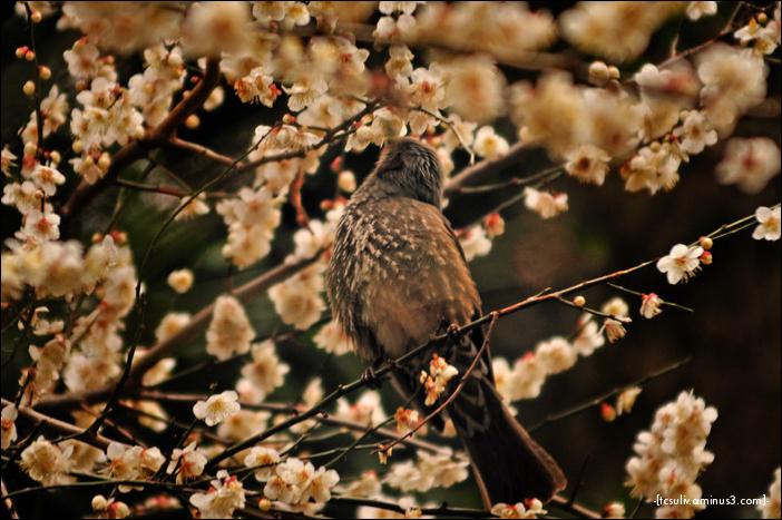 sakura bird 桜鳥