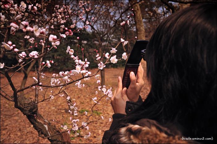 cell phone sakura