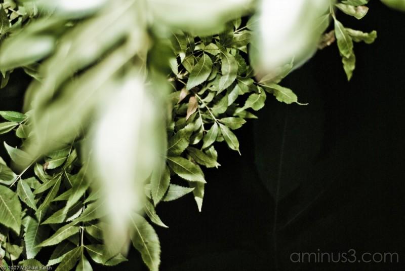 Leaves Black