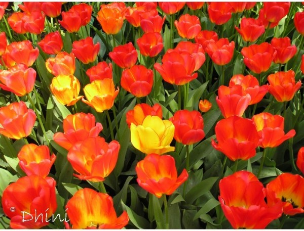 tulip #3