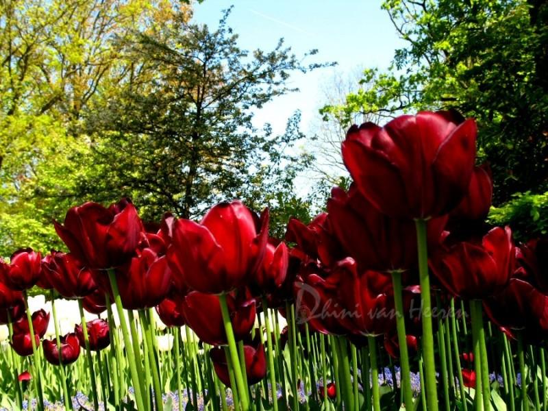 Red tulpen