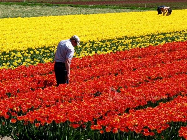 Tulpen field