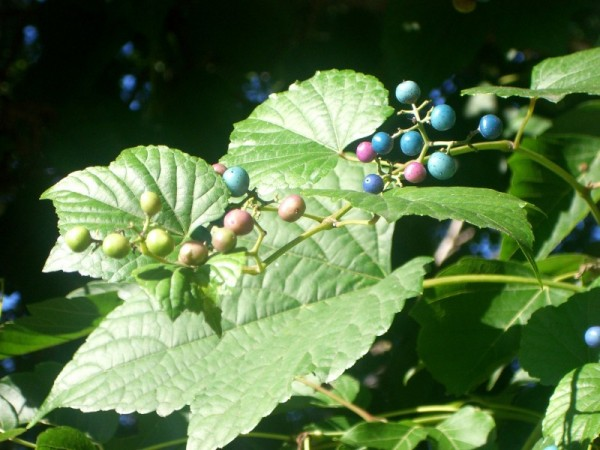 painted berries