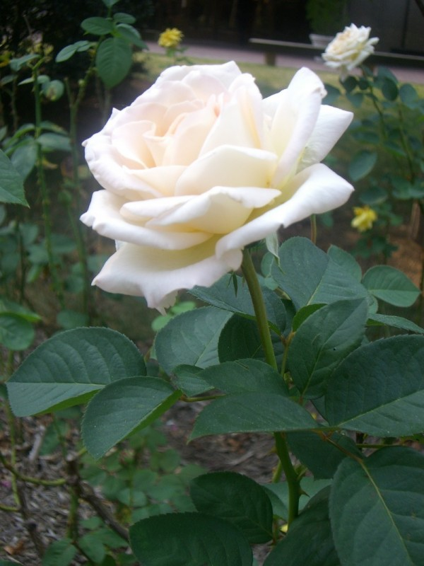 white rose love