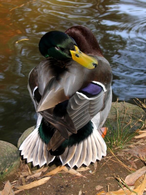 yoga duck