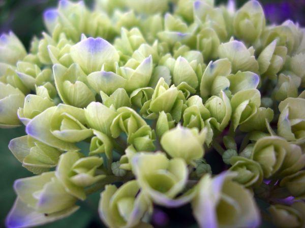 maturing hydrangea