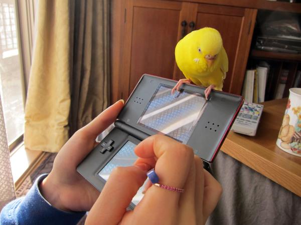 gaming parakeet