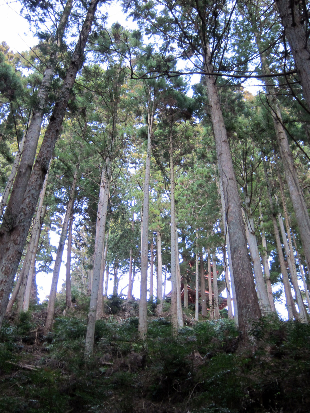 mount minobu cedar forest