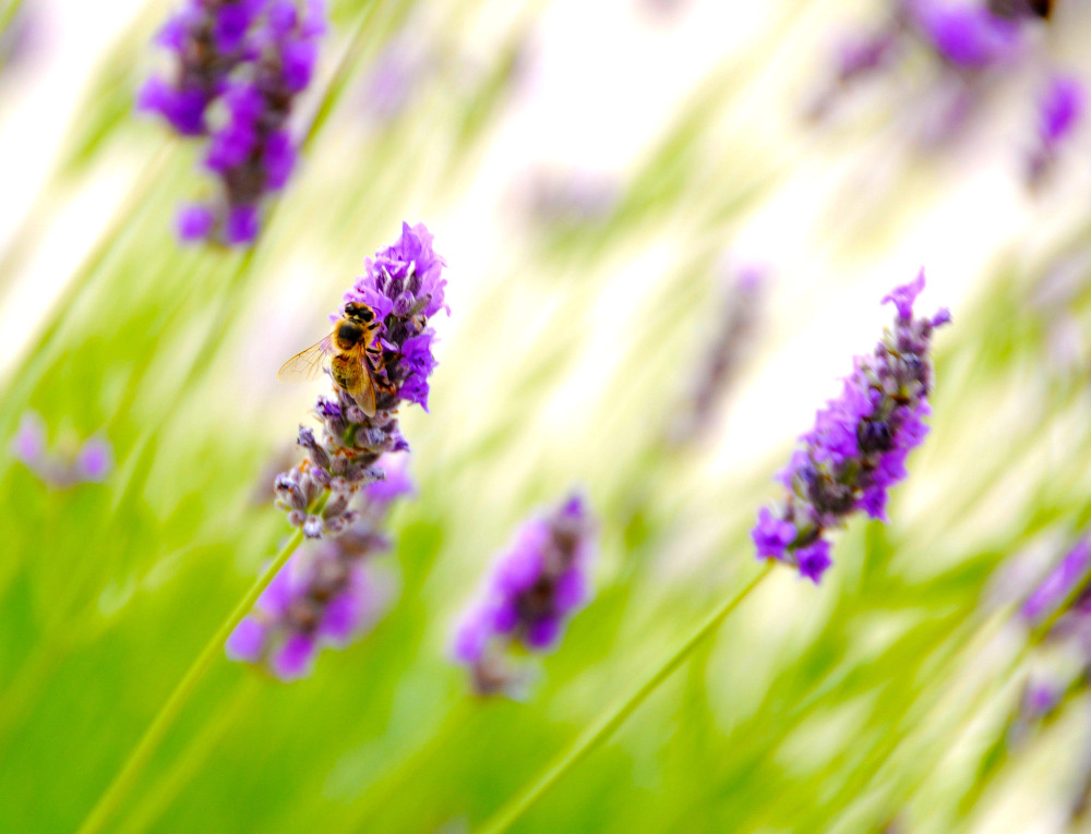 bee and lavender (3)
