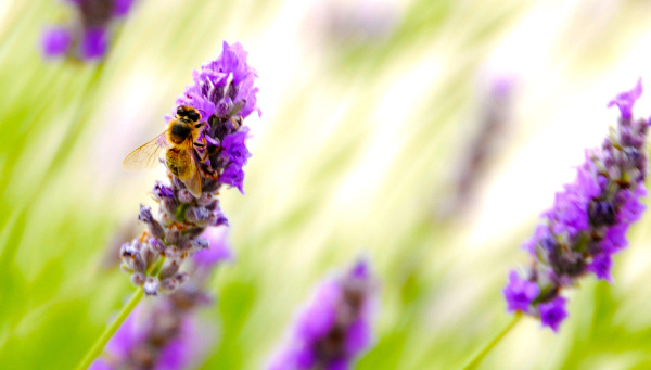 bee and lavender (3 close-up)