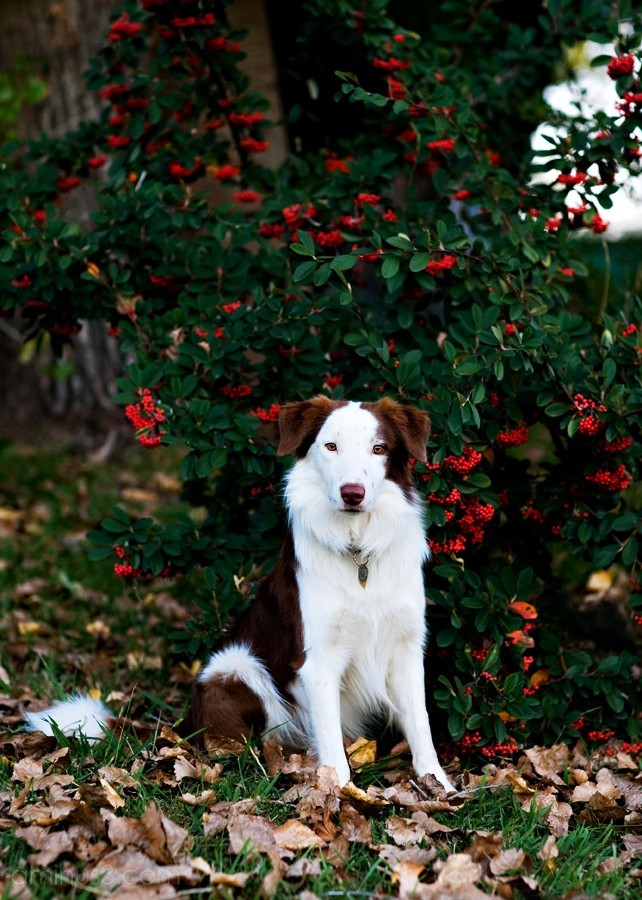 """Rusty"" The Border Collie"