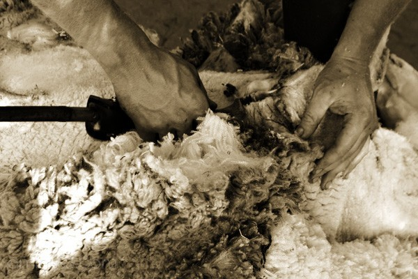 The Hands of a Skilled Shearer