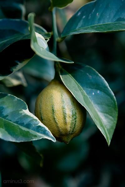 Varigated Pink Lemon